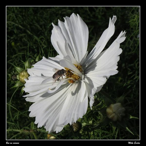 Bee on cosmos by oldgreyheron