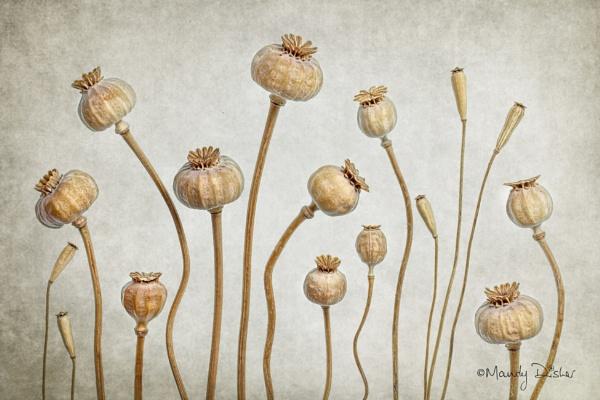 Poppy family by MandyD