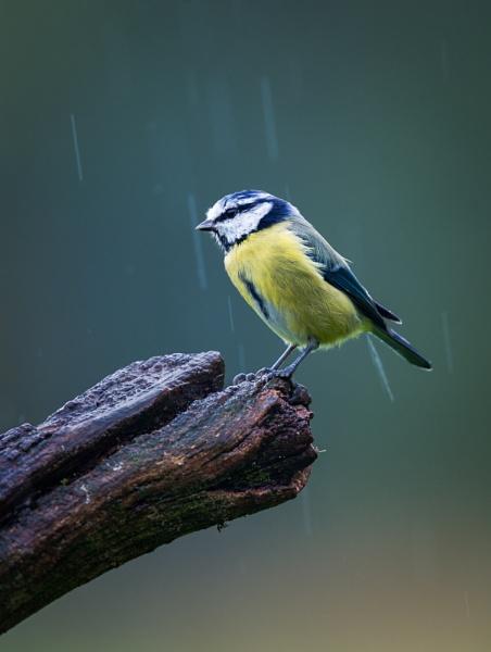 Bluey in the Rain by jasonrwl