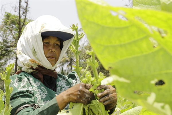Tobbaco farmers. by WimpyIskandar
