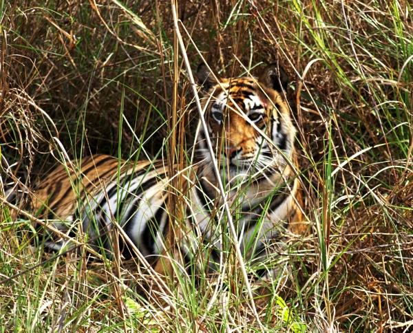 Tiger in Bandhavgarh by JuBarney