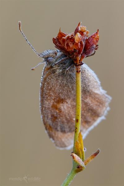 Small Heath -  Coenonymphus pamphilus by Mendipman