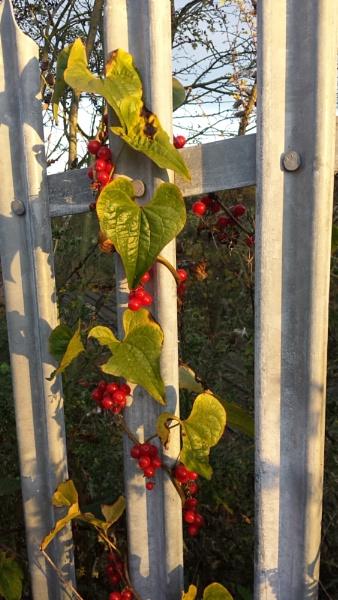 Autumn Berries by digitalnovice
