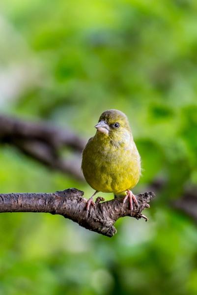 Greenfinch by stevew10000