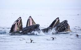 Feeding Humpbacks