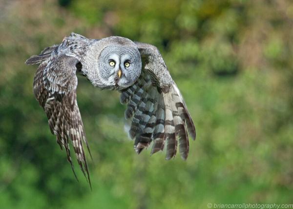 Great Grey Owl by brian17302
