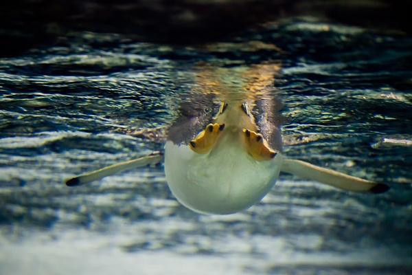 Penguin by dvdrew