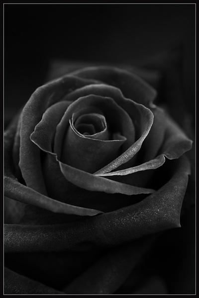Black Rose by Morpyre