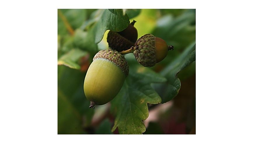 A trio of acorns