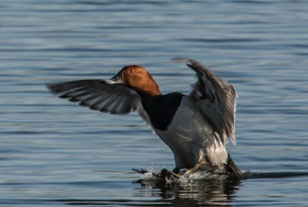 duck landing by madbob