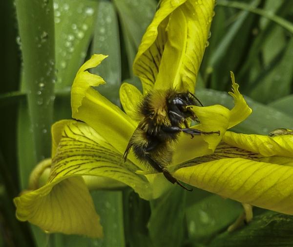 honey bee by madbob