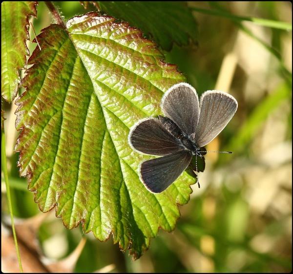 Little Blue on leaf by Glostopcat