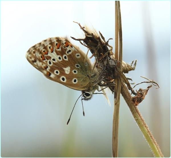 Female Chalkhill Blue resting by Glostopcat