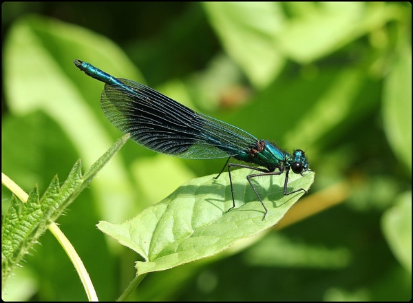 Male Banded Demoiselle by Glostopcat