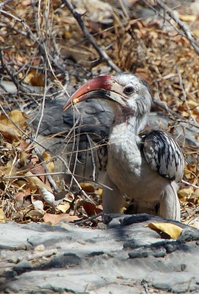 Hornbill by jinstone