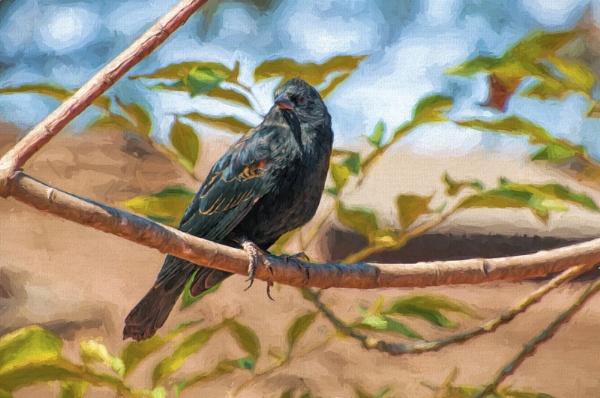 Red Winged Black Bird by pokeyb