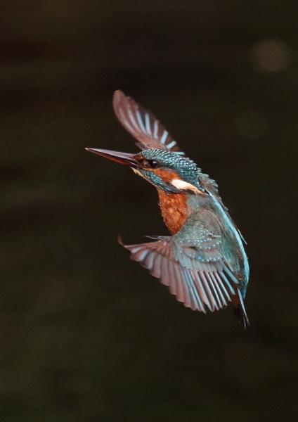 Ryemeads Kingfishers by NeilSchofield