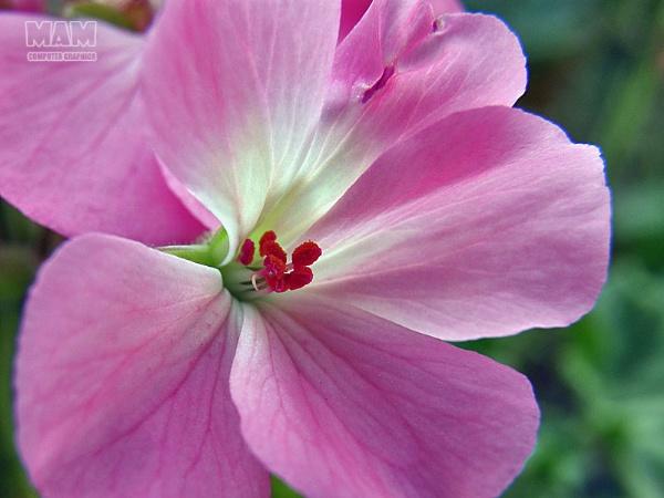 Geranium my love by Majnoon