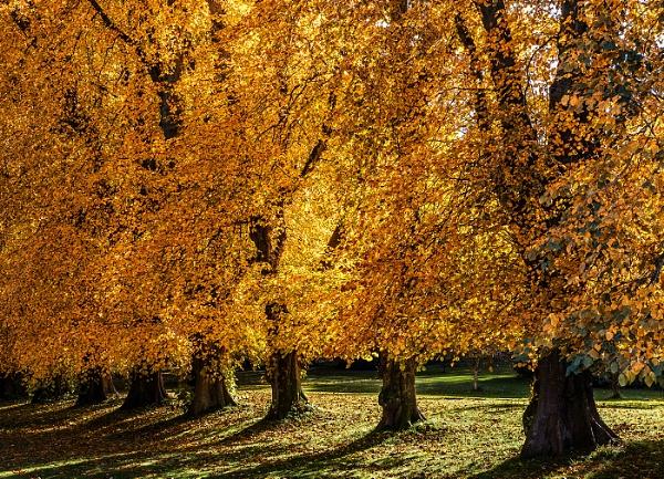 Autumn Beech Trees, Haddo by Mstphoto