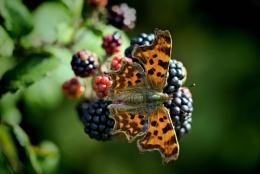 Butterfly on Blackberries