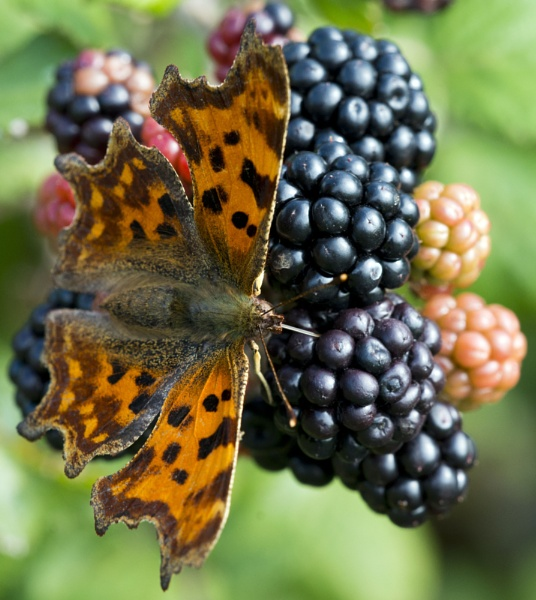 Butterfly on Blackberries 2 by Wallybazoom
