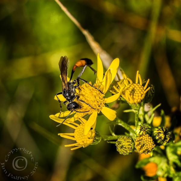 Sand Wasp (Ammophila Sabulosa) by jimpy1
