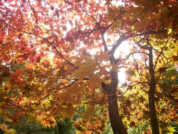 Sunshine through leaves by BobThomas