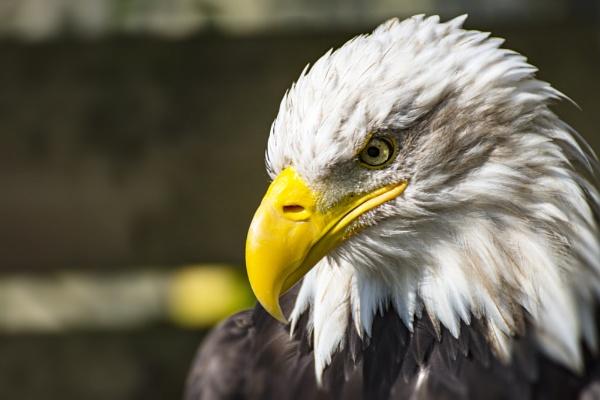 bald eagle by jimmymack