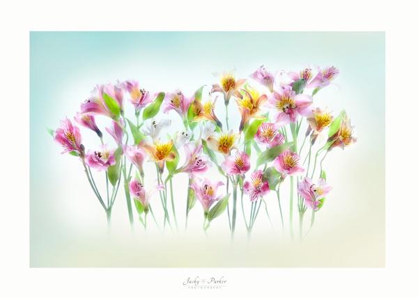 Peruvian Lilies by jackyp