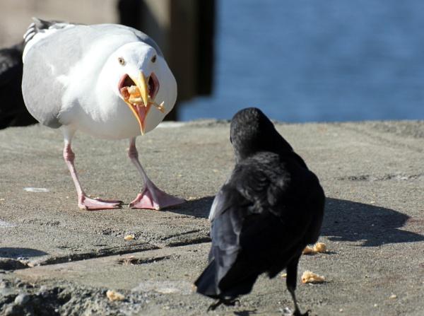 Gull-1..Crow-0 by tonyguitar