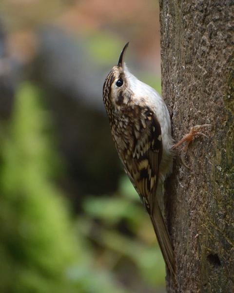 Treecreeper by Holmewood