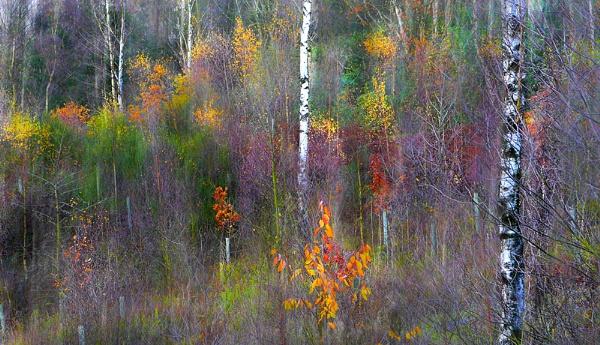 Autumn Birches by whatriveristhis