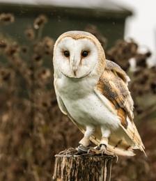 Barn Owl - Just Waiting
