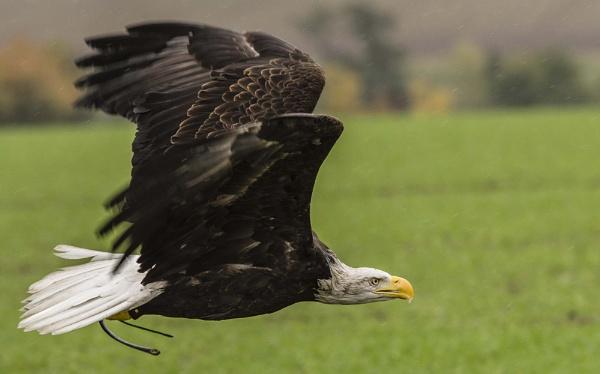 Bald Eagle by Alan1297