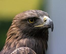 Golden Eagle - Who's Proud?