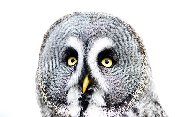 Great Grey Owl by NathalieM
