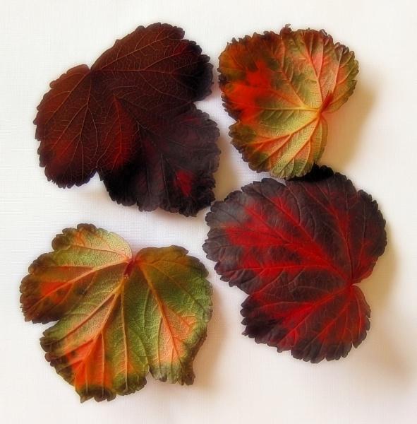 Heuchera Leaves by PrunellaCara