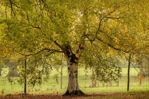 silver birch by AlanRangerPhotography
