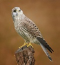 Kestrel by clintnewsham
