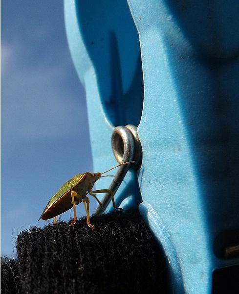 Shield Bug by Crespo