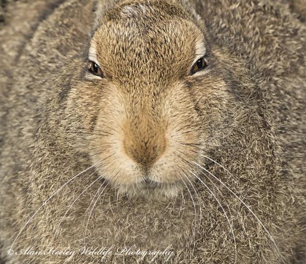 Mountain Hare by AH1shot