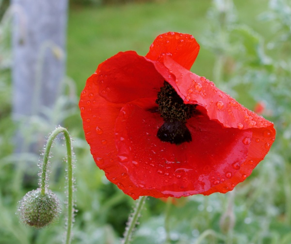Poppy by BillRookery