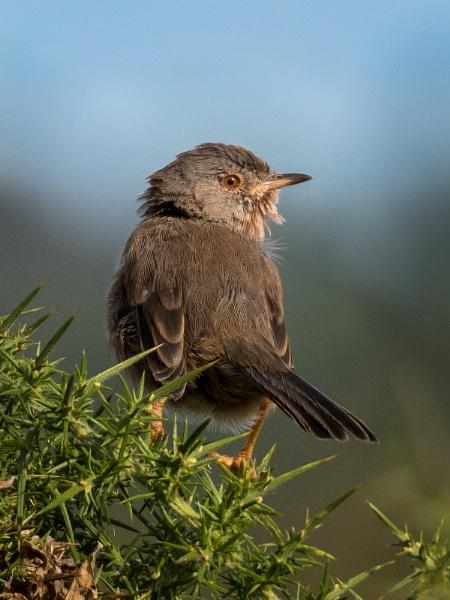 Dartford warbler by PaulM888