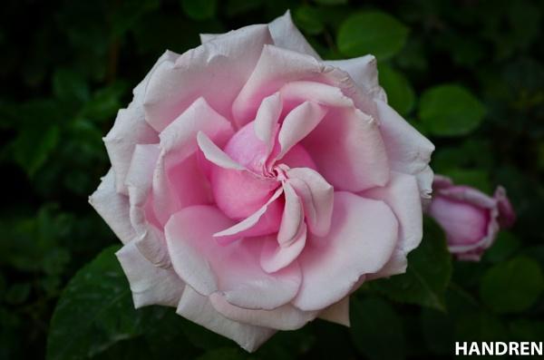 flower-3 by handren