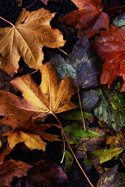 autumn leaves of colour by iajacks