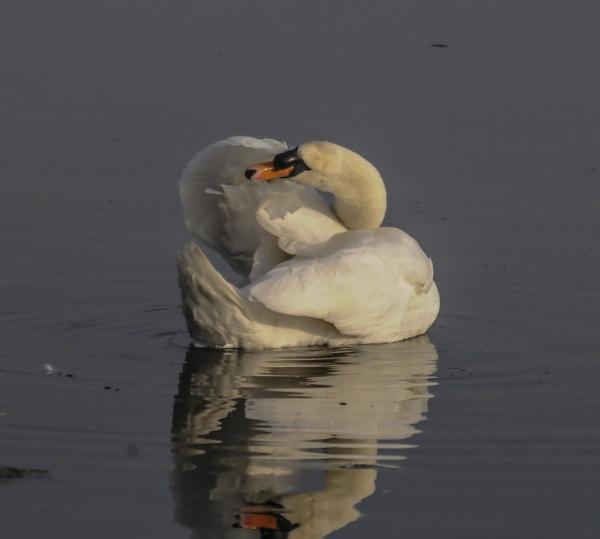 swan lake by madbob