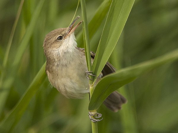 Clamorous reed warbler by ajdh
