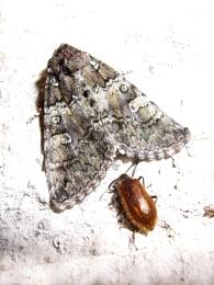 Straw Underwing & Beetle