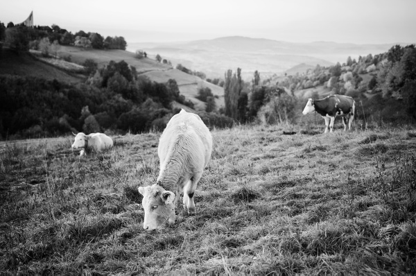 Cows by t0m
