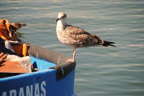 Algarve gulls... by Chinga